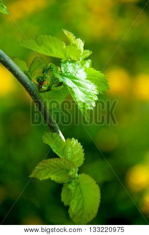 the young shoots of a weeping mulberry leaves