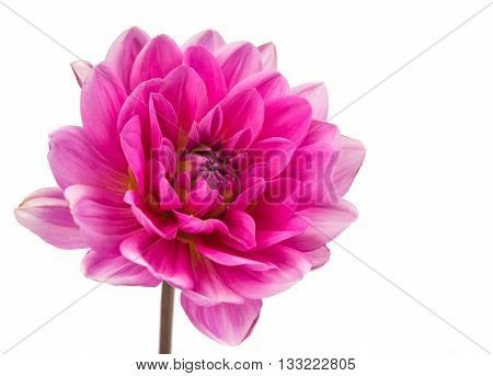beauty pink dahlia isolated on white background