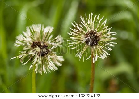 Two white fluffy dandelions on natural floral background. Couple faded dandelions