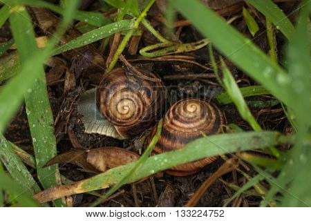 Couple of snails in garden crawl through green grass. Snail on brown ground