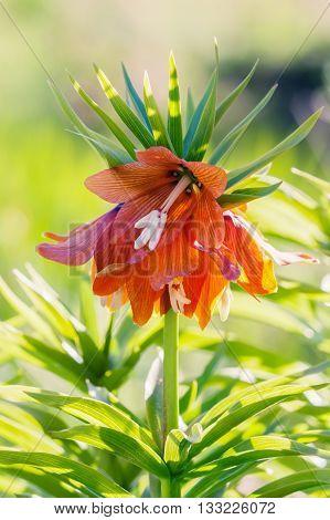 Orange flower imperial Fritillaria Fritillaria Eduardic Regel Crown imperial fritillary