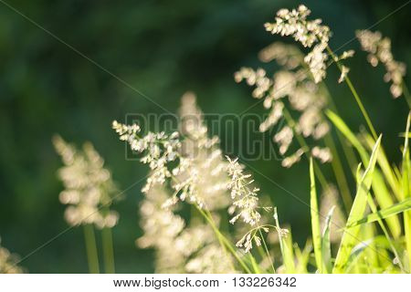 Spikelets in the grass at sunrise. Floral natural background