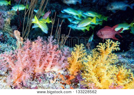 Alcyonarian Soft Coral Underwater Landscape Colorful View