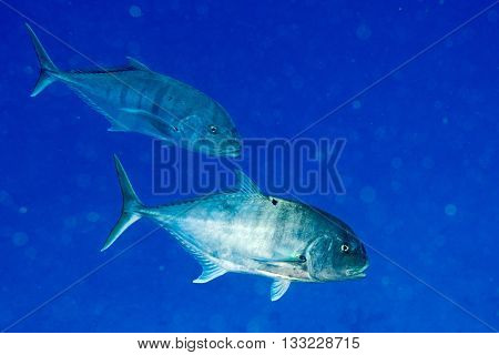 Red Snappers Fish Underwater Portrait Close Up