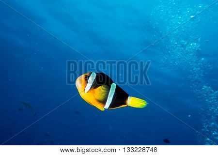 Clown Fish Portrait Isolated On Deep Blue Ocean