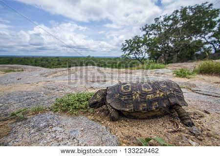 Specie Stigmochelys pardalis family of Testudinidae, leopard tortoise in the riverbank, wide angle