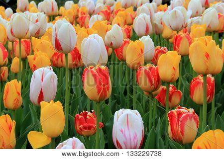 Gorgeous garden filled with bright and colorful tulips, a favorite in anyone's garden.