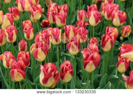 Gorgeous pink and yellow stripe tulips in landscaped garden.