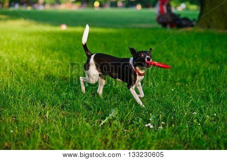 The dog bears frisbee in a mouth.Cute black and white doggy running through the green grass.She average size with smooth glossy coat.At a dog well-muscled strong body.On a neck red collar. Playful pet