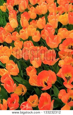 Beautiful image of peach colored tulips in landscaped garden.