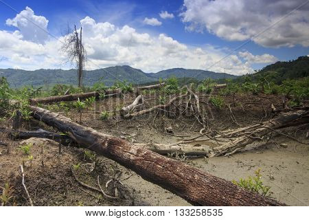 Deforestation. Rainforest destroyed and oil palm trees planted.