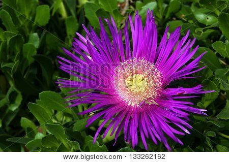 Open  lilac flower carpobrotus on the flowerbed