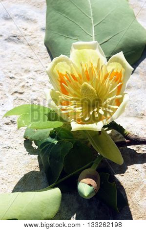 Discloses a flower from a tree Liriodendron