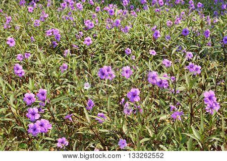 Ruellia tuberosa flower filed, purple ruellias flower in garden