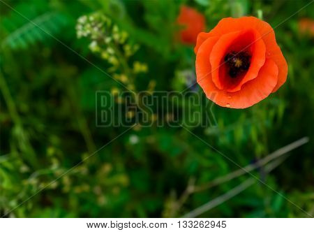 Papaver rhoeas common names include corn poppy corn rose field poppy Flanders poppy red poppy red weed coquelicot .