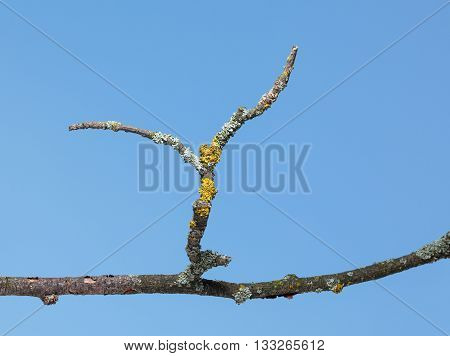 Closeup of old tree dry twig with lichen over blue sky background