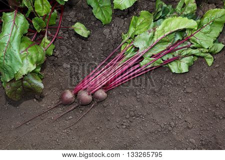 Red Beets Crop