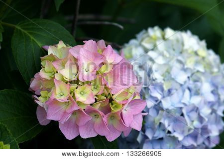 Pink and blue inflorescences on hydrangeaceae bush