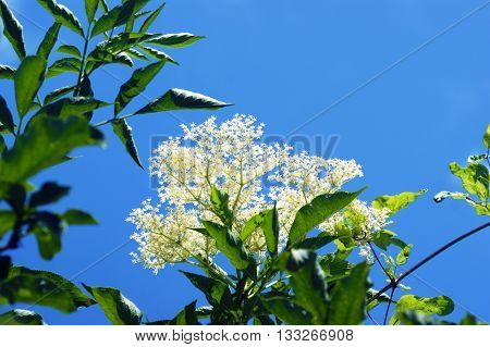 Elderberry inflorescence with white flowers against the blue sky