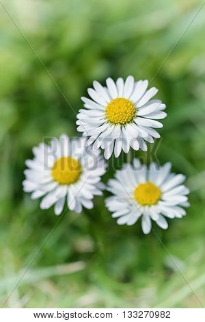 Macro shot of three white daisy flowers in a field of daisies