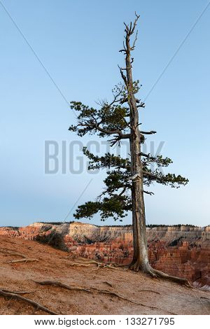 Pine Tree on Rim of Bryce Canyon