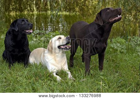 horizontal picture of dogs, labrador in a garden