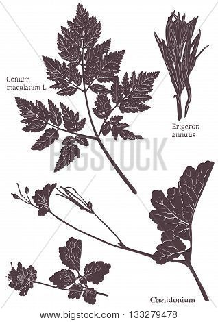 Set Herbarium of grass leaf. Isolated on white vector illustration