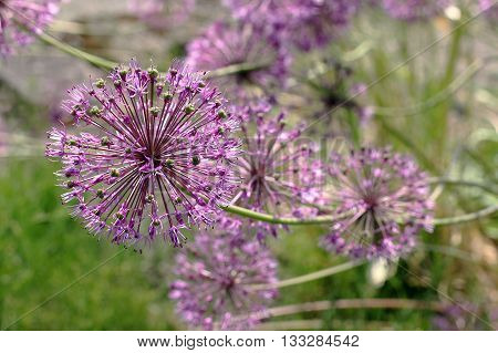 Allium jesdianum Akbulak. These are onions with large heads of flowers usually spherical with the pointed petals. Flowers are usually pink purple or white