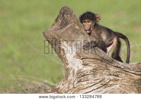 Cute baby baboon sits on a tree stump to play