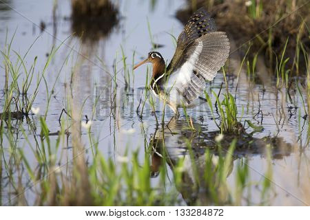 Painted snipe female walking in shallow water hunting for insects