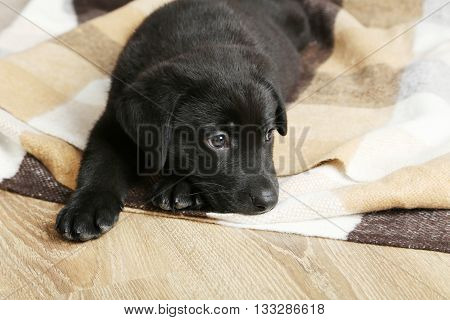 Beautiful black labrador puppy on a plaid