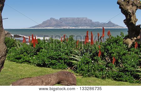 View Of Table Mountain In Back Ground And Aloes In Fore Ground, Blouberg Strand  Cape Town South Africa 75