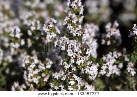 Common thyme (Thumus vulgaris) as background or texture.