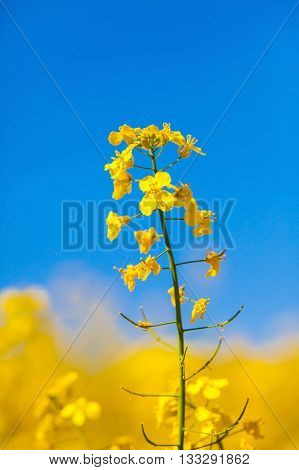 Rape field, canola crops on blue sky