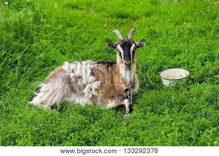 Goat on the green grass in the pasture