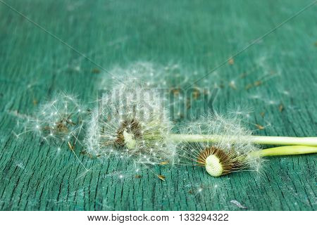 dandelion seeds. Symbol of  baldness. Problems with hair