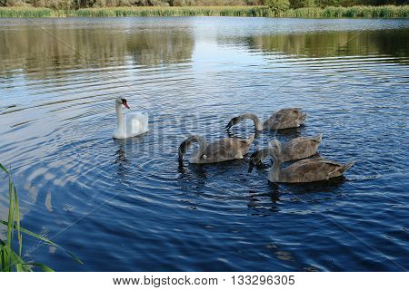 Female white swan (Cygnus olor) with cygnets swimming in the lake