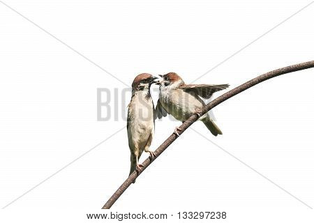 a bird a Sparrow feeding her little chick on white isolated background