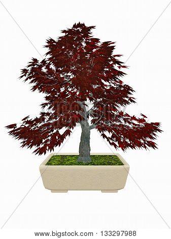 Japenese maple, acer palmatum, tree bonsai isolated in white background - 3D render
