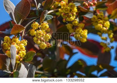 a barberry flowers close-up blooming in spring