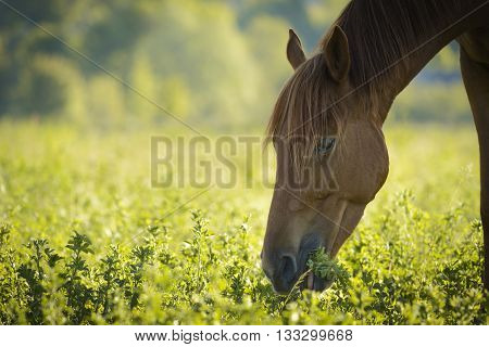 Brown horse in meadow before sunset time