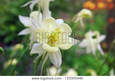 Beautiful white flower Aquilegia. Flower in the garden.