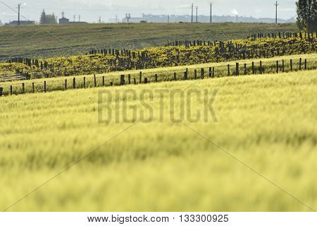 Corn And Vine In Beaujolais, Burgundy, France