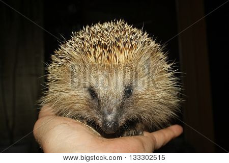 shot of the spiny hedgehog on palm