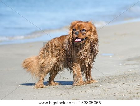 cavalier king charles standing on the beach in France