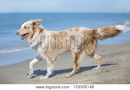 australian shepherd running on a beach a day of spring