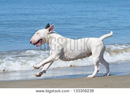 bull terrier running on the beach in France