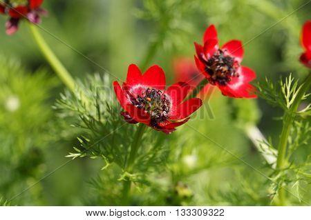 Flower summer pheasants eye (Adonis aestivalis) a medical plant in Europe.