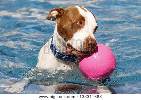Brown and white dog swimming with a pink ball
