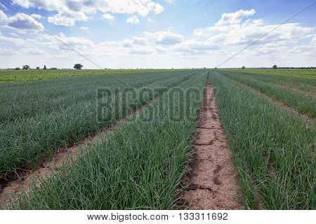 Rows of Onions, Onion Field, Onions plantations, Agricultural landscape